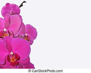 Orchid - Flower background