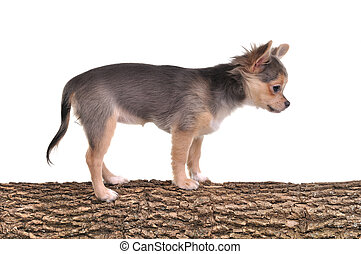 Chihuahua puppy standing on a tree trunk with wooden texture isolated