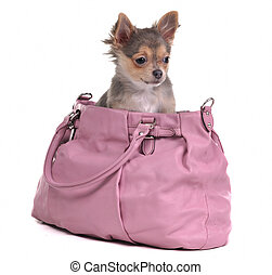 Chihuahua puppy sitting in pink bag isolate on white...