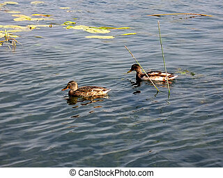 Ducks - Pair of wild ducks on a lake.