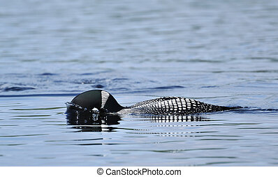 Common Loon (Gavia immer) on a Lake Putting its Head in the...