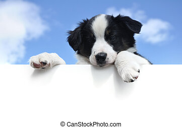 Australian Shepherd Aussie Puppy Above a Blank Sign -...