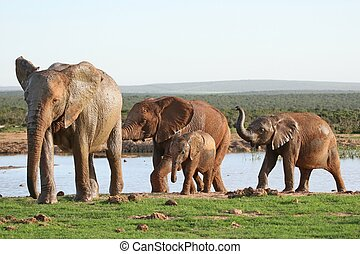Elephants at Waterhole - African elephant family leaving a...
