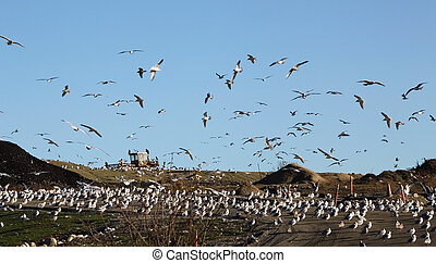 municipal garbage dump. - birds flying around the local...
