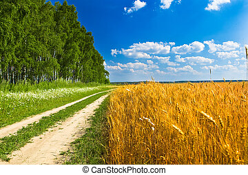 Feeld of yellow wheat near road and forest under blue sky