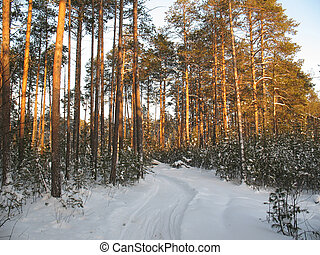 Taiga 2 - Ski track in the icy silence forest. Frost in...