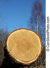 Oak Tree Trunk Detail