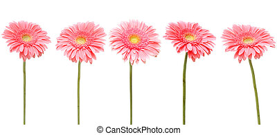five daisy - five gebera (african daisy) isolated on white