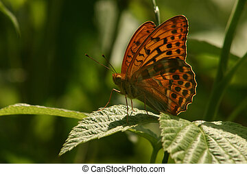 Silver-washed Fritillary Argynnis paphia - male on a plant