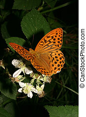 Silver-washed Fritillary (Argynnis paphia) - male on a plant