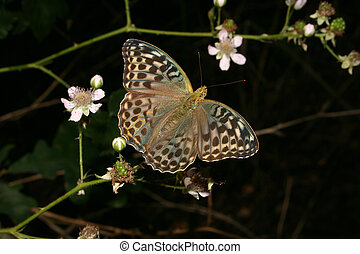 Silver-washed Fritillary Argynnis paphia - female on a plant...