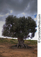 Ancient olive tree in the valley of the temples 01