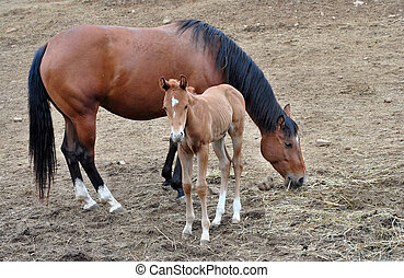 baby horse farm a few days after birth by breastfeeding...