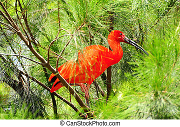 Red Ibis Hiding in The Dense Branches of The Jungle