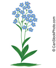 Blue forget-me-nots - Blue forget-me-not on a white...