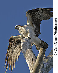 Osprey - The Osprey Pandion haliaetus, sometimes known as...