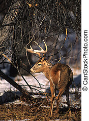 Whitetail Buck - a nice whitetail buck facing away