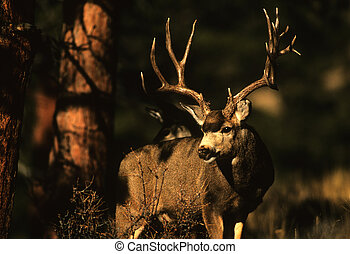 Trophy Mule Deer Buck - a trophy mule deer buck standing in...