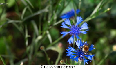 Working bumblebee. - Bumblebee on a blue carnflower.