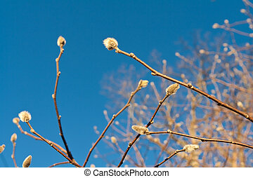 Early Spring Fuzzy Willow Buds on Tree Branches