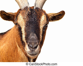 Pigmy goat - Close up of Pigmy Goat head on white background