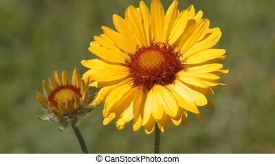 Wildflower, Brown-Eyed Susan - Single Brown-Eyed Susan...