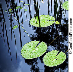 Lilly Pad Pond - Bright green lilly pads cover the surface...