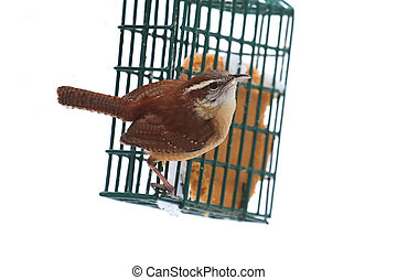 Carolina Wren On A Feeder - Carolina Wren Thryothorus...