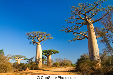 madagascar,  baobab, árboles