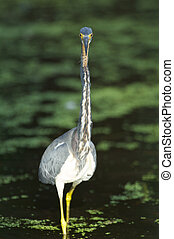 Tricolor Heron, Egretta tricolor, at edge of water with neck...