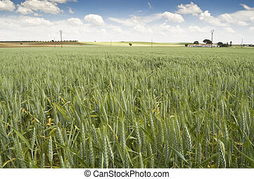 Wheat crop in an agrarian landscape in Ciudad Real (Spain)