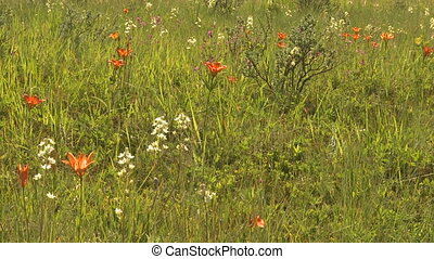 Wildflowers, Western Wood Lily