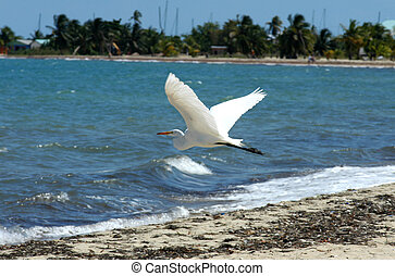 Belize, Placencia, white stork