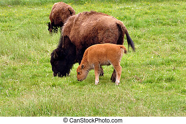 Bisons Bison urus are grazing