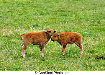 Young bisons Bison urus on the field