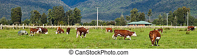 Grazing cows - grazing cows, rural landscape, Fox Glacier,...