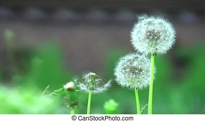 Deflorated dandelions