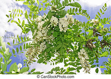 acacia - flowers and leaves of acacia blossom in spring and...