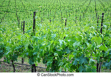 chardonnay grape vines in the spring campaign in the...