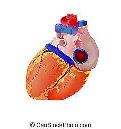 human heart - vector illustration of isolated human heart...