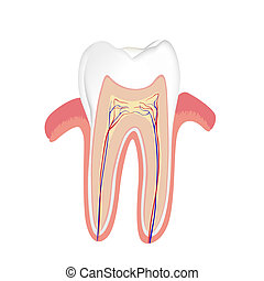 human tooth - vector illustration of an isolated human tooth