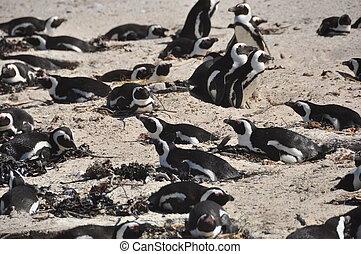 Pingüinos, cantos rodados