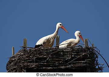 White stork 2 - White stork