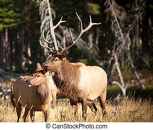 Bull Elk - Bull elk during fall