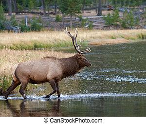 Bull Elk - Bull elk crossing a river during fall
