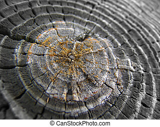 Tree rings - Close up shot of a sectioned tree revealing age...