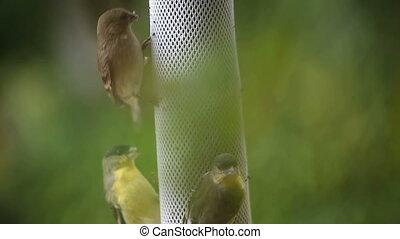 goldfinches feeding