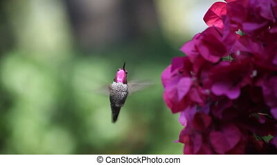 hummingbird in bougainvillea - a hummingbird shows its...