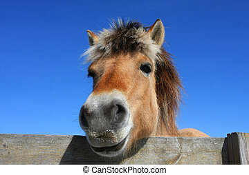 Norwegian Fjord Horse - Norwegian fjord horse head shot from...