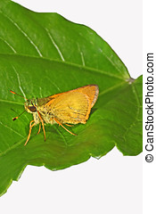 Least Skipper - Least skipper butterfly on green...